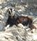 Une chèvre crètoise pénard..