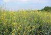 Un champ de colza