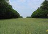 Un champ de colza entre deux bois