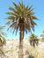 Un palmier...