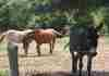 Deux chevaux et un âne,  un après midi dans la haute loire