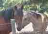 Deux chevaux, un après midi dans la haute loire