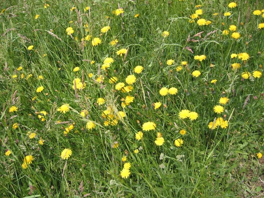 Fleurs des champs jaunes petite fleur rouge